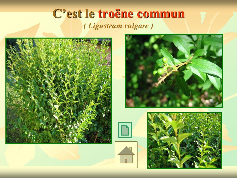 C'est le troëne commun ( Ligustrum vulgare )