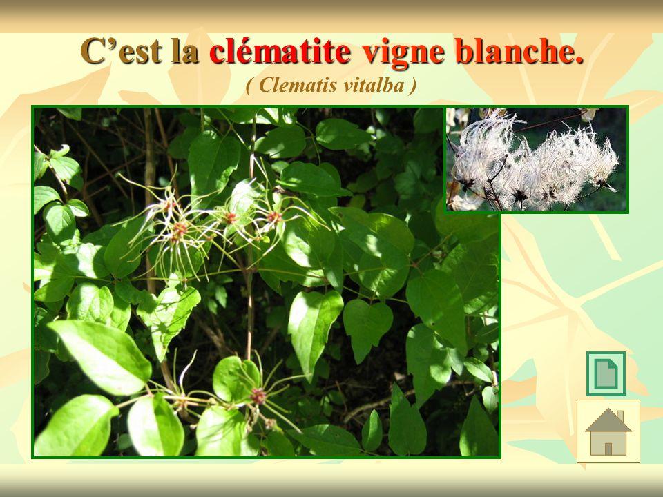 C'est la clématite vigne blanche. ( Clematis vitalba )