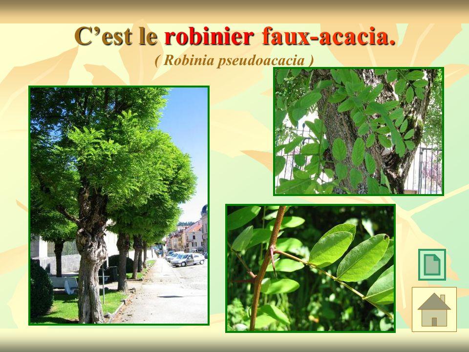 C'est le robinier faux-acacia. ( Robinia pseudoacacia )