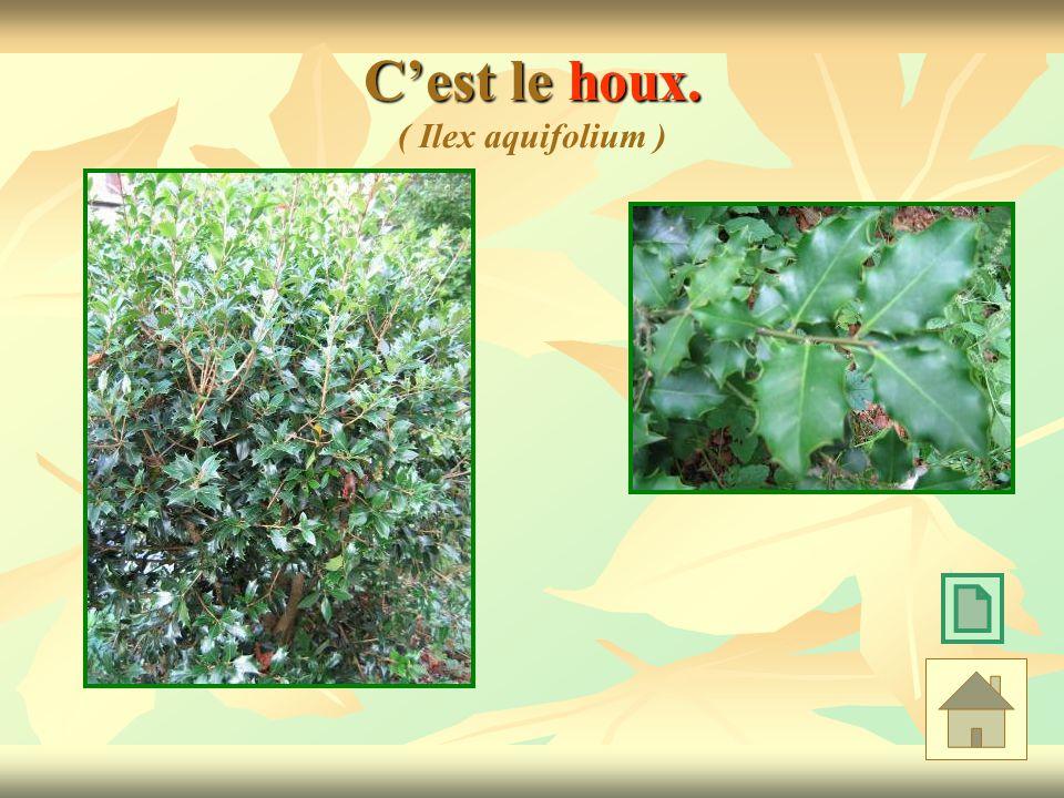 C'est le houx. ( Ilex aquifolium )