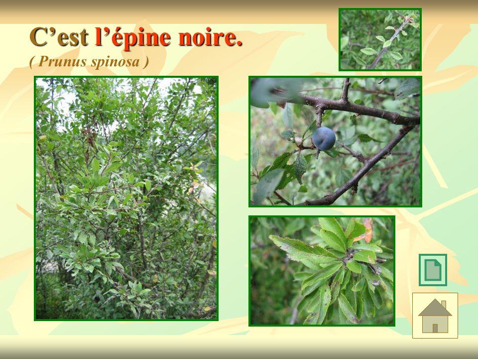 C'est l'épine noire. ( Prunus spinosa )