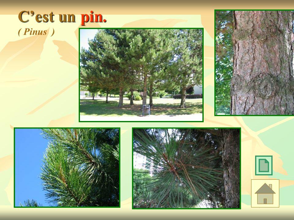 C'est un pin. ( Pinus )
