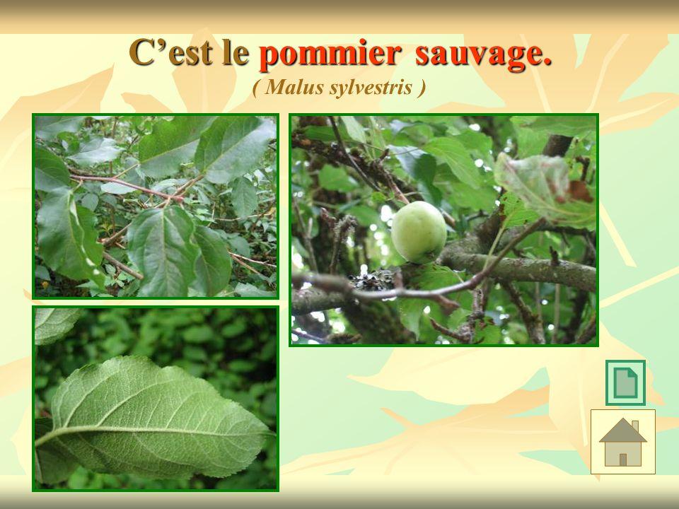 C'est le pommier sauvage. ( Malus sylvestris )