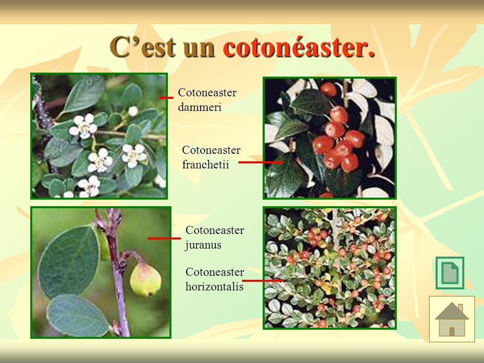 C'est un cotonéaster. Cotoneaster dammeri Cotoneaster franchetii