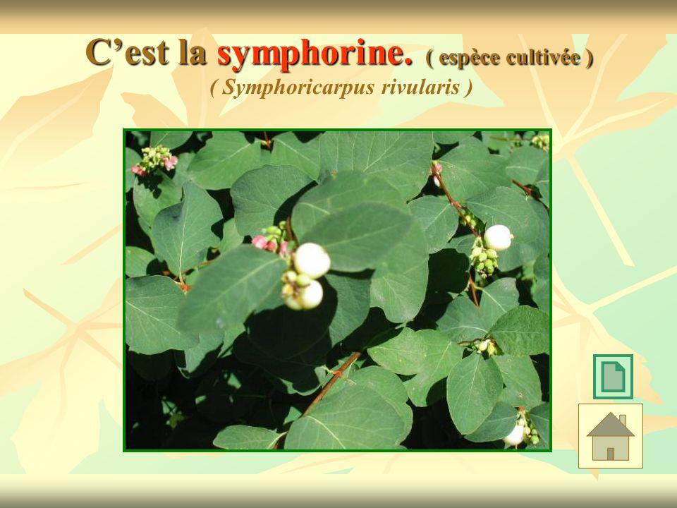 C'est la symphorine. ( espèce cultivée ) ( Symphoricarpus rivularis )