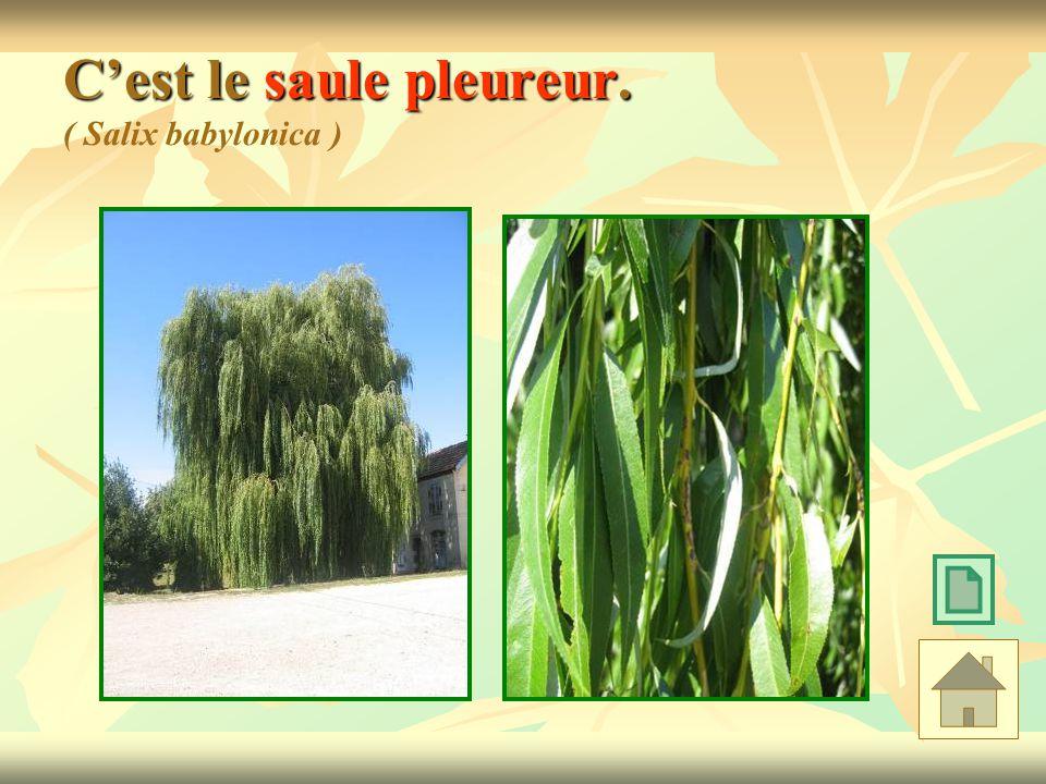 C'est le saule pleureur. ( Salix babylonica )