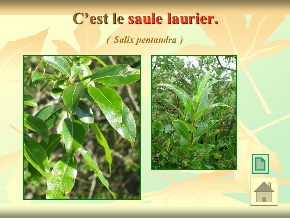 C'est le saule laurier. ( Salix pentandra )