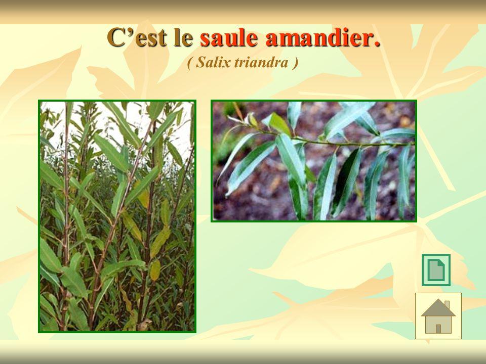C'est le saule amandier. ( Salix triandra )