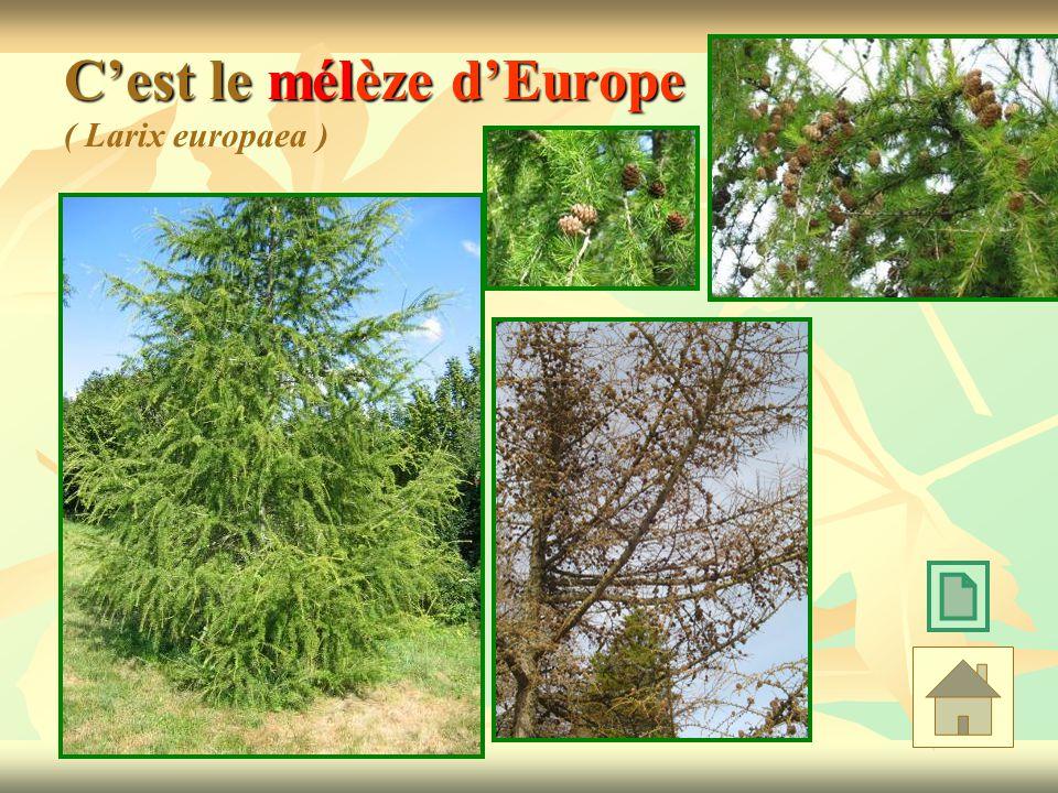 C'est le mélèze d'Europe ( Larix europaea )