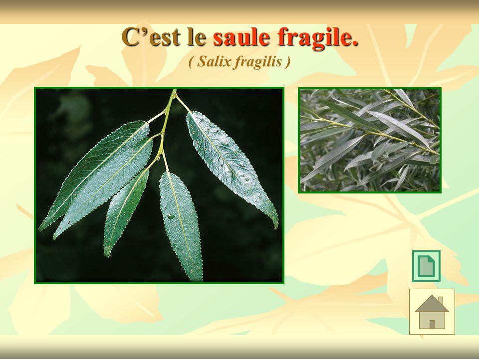 C'est le saule fragile. ( Salix fragilis )