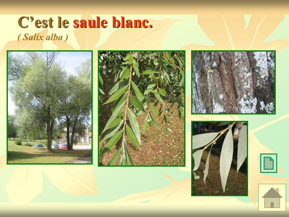 C'est le saule blanc. ( Salix alba )