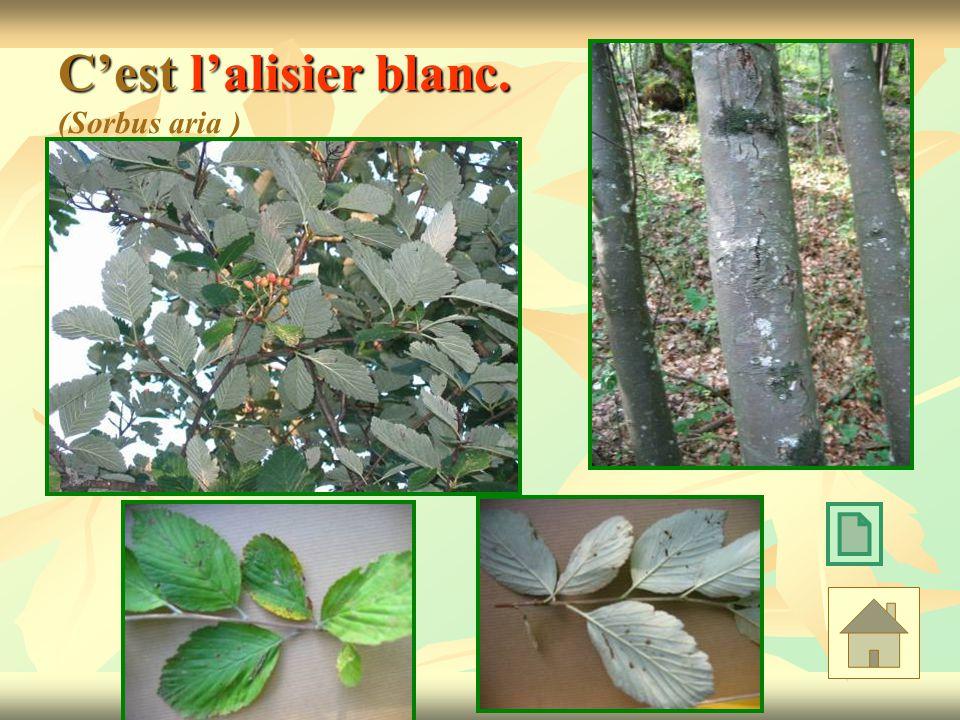 C'est l'alisier blanc. (Sorbus aria )