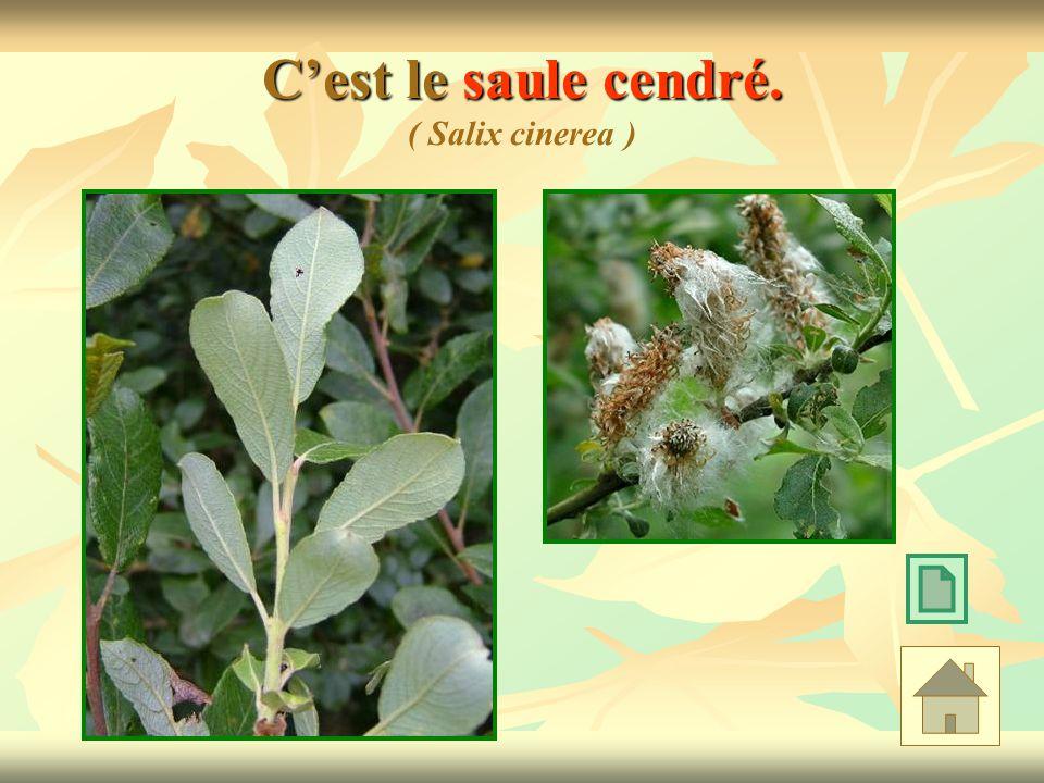 C'est le saule cendré. ( Salix cinerea )
