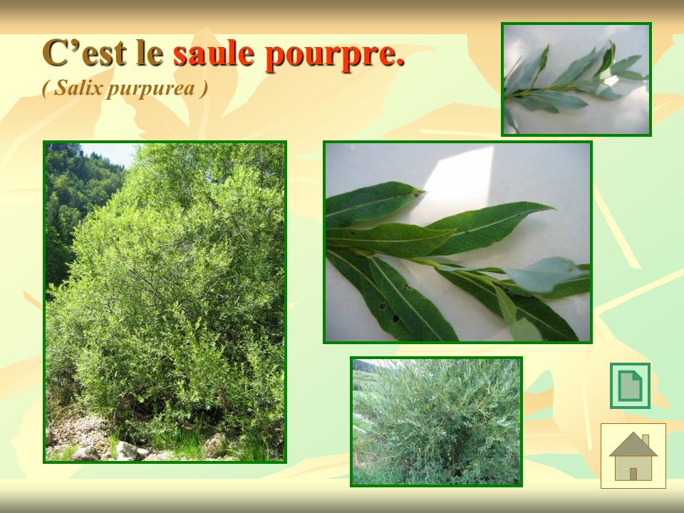 C'est le saule pourpre. ( Salix purpurea )