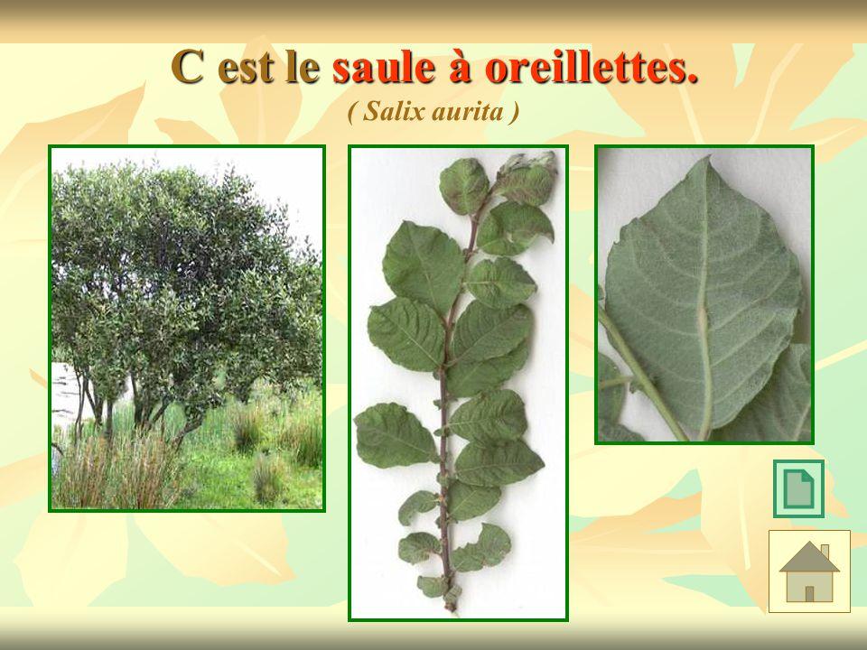 C est le saule à oreillettes. ( Salix aurita )