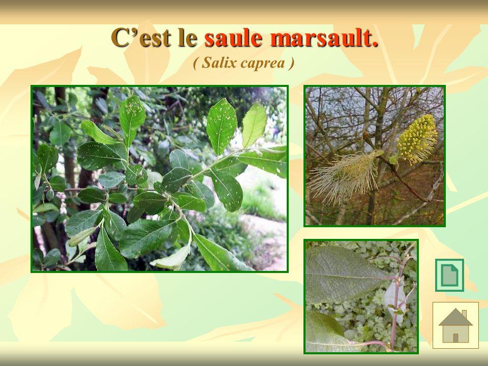 C'est le saule marsault. ( Salix caprea )