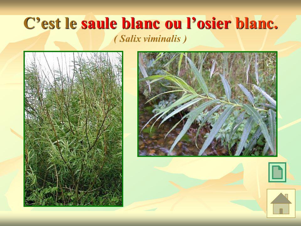 C'est le saule blanc ou l'osier blanc. ( Salix viminalis )