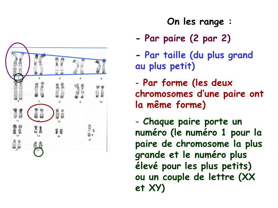 On les range : - Par paire (2 par 2) - Par taille (du plus grand au plus petit) Par forme (les deux chromosomes d'une paire ont la même forme)