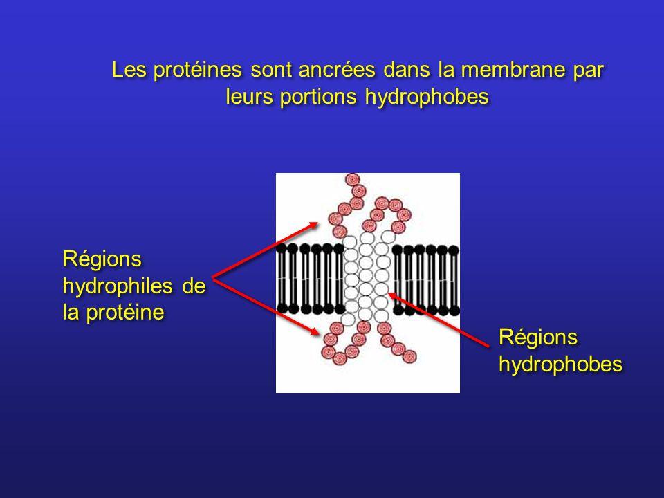 Les protéines sont ancrées dans la membrane par leurs portions hydrophobes