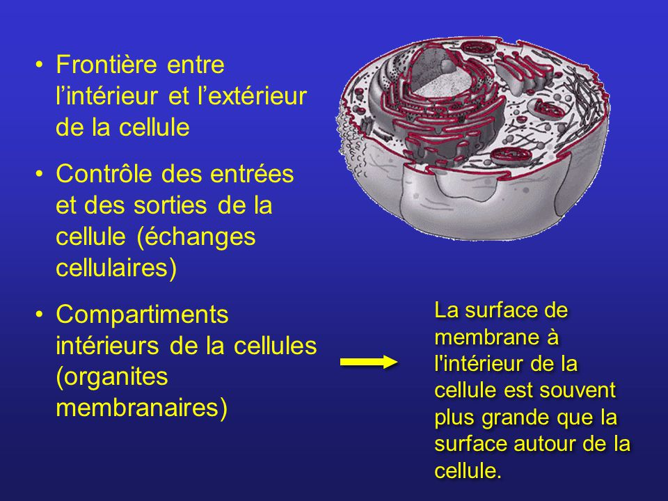 Frontière entre l'intérieur et l'extérieur de la cellule