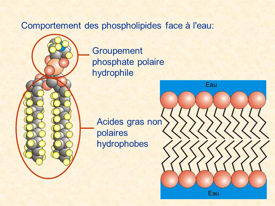 Comportement des phospholipides face à l eau: