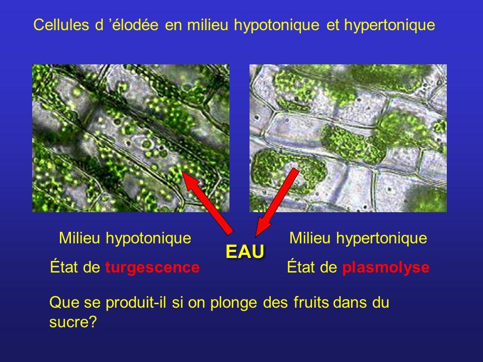 EAU Cellules d 'élodée en milieu hypotonique et hypertonique