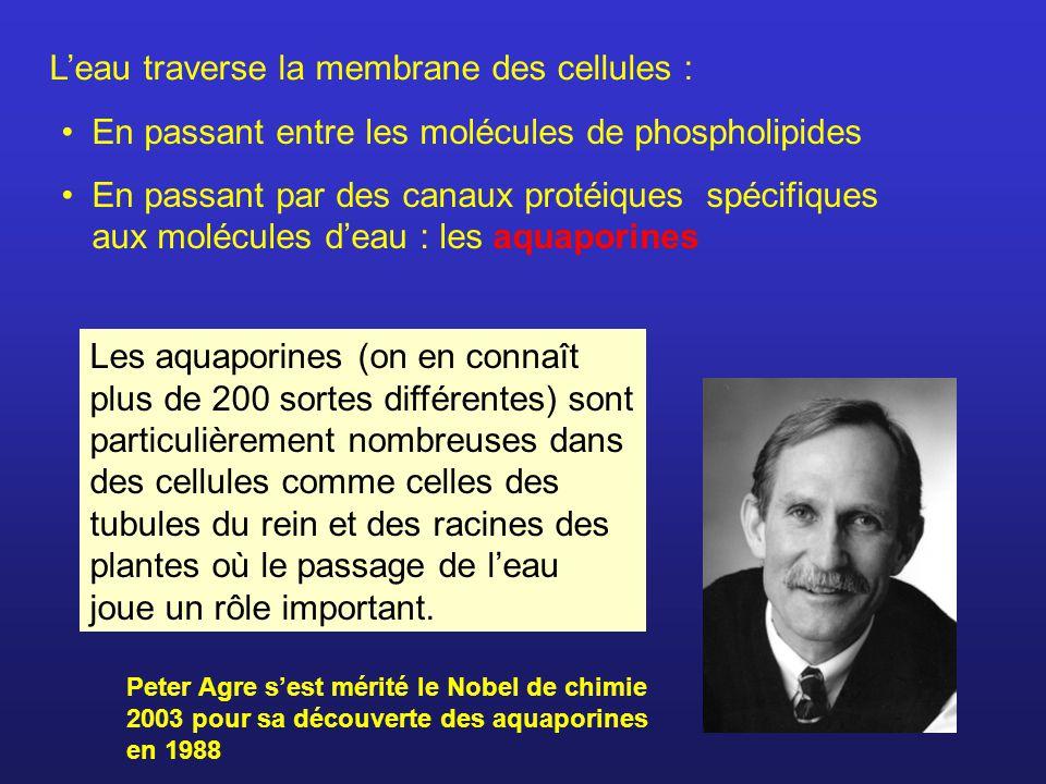 L'eau traverse la membrane des cellules :