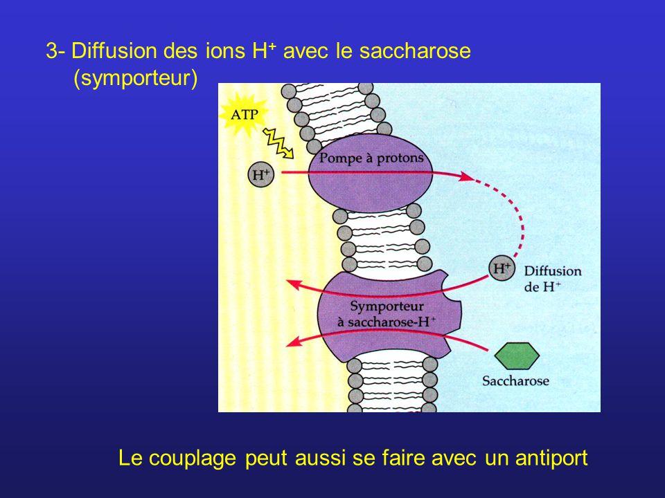 3- Diffusion des ions H+ avec le saccharose (symporteur)
