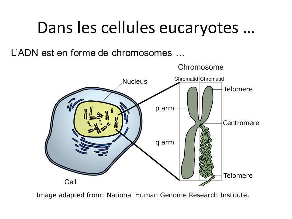 Dans les cellules eucaryotes …