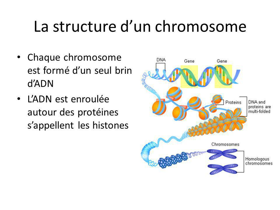 La structure d'un chromosome