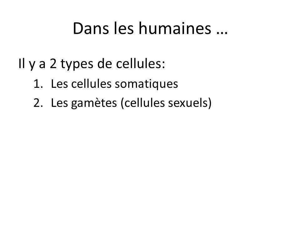 Dans les humaines … Il y a 2 types de cellules: