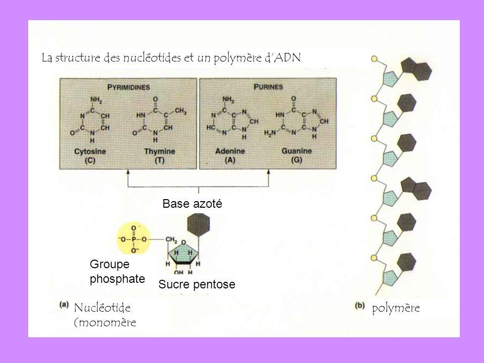 Example: La structure des nucléotides et un polymère d'ADN Base azoté