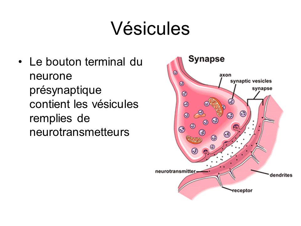Vésicules Le bouton terminal du neurone présynaptique contient les vésicules remplies de neurotransmetteurs.