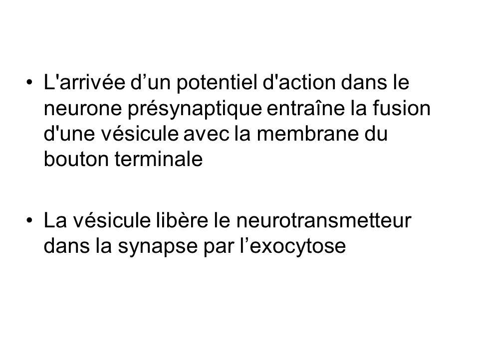L arrivée d'un potentiel d action dans le neurone présynaptique entraîne la fusion d une vésicule avec la membrane du bouton terminale