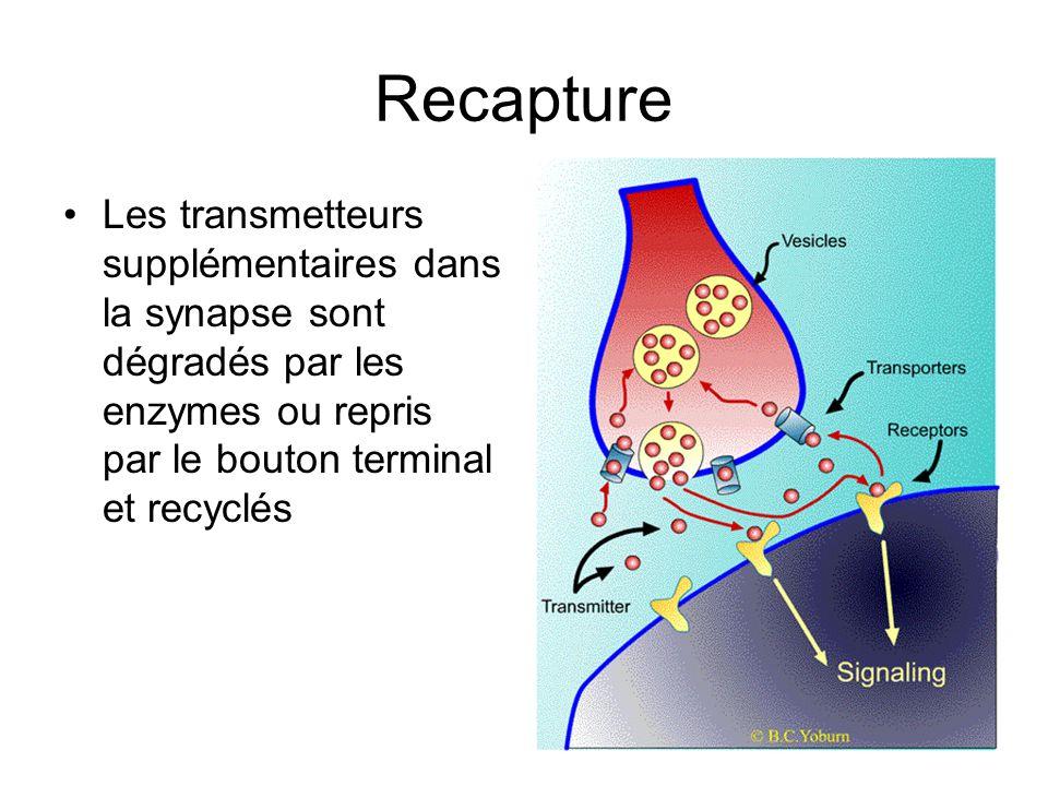 Recapture Les transmetteurs supplémentaires dans la synapse sont dégradés par les enzymes ou repris par le bouton terminal et recyclés.