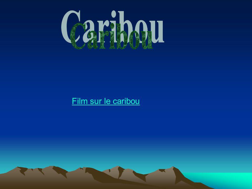 Caribou Film sur le caribou