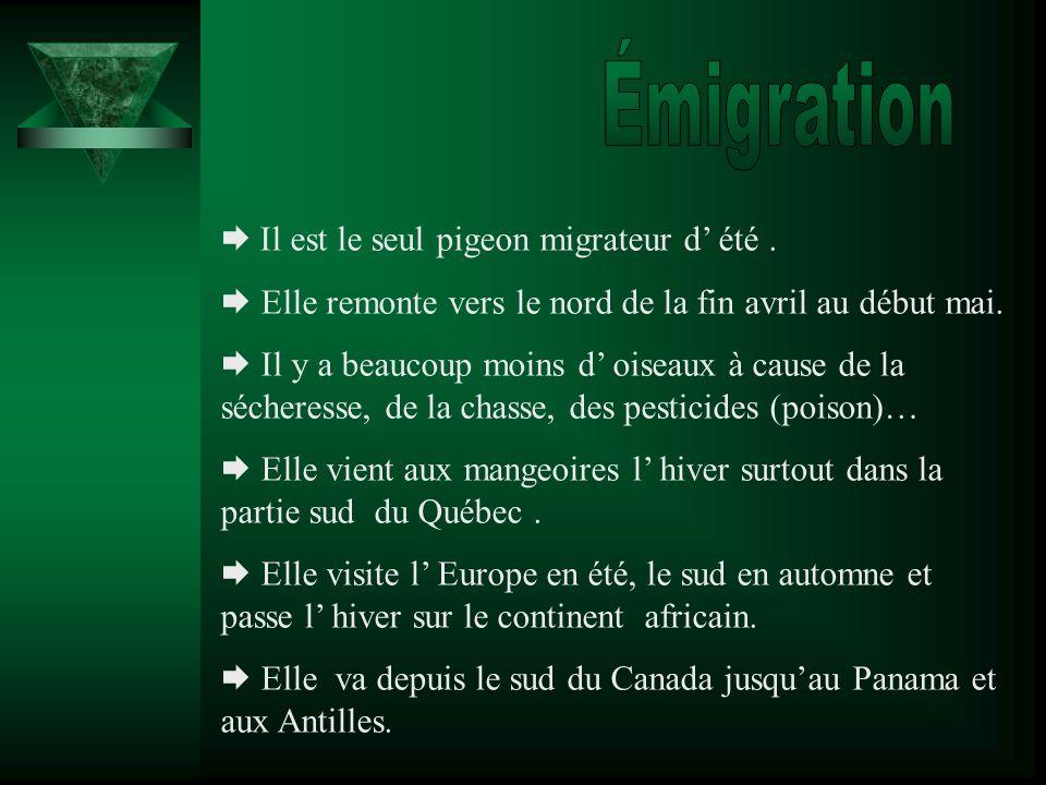 Émigration  Il est le seul pigeon migrateur d' été .