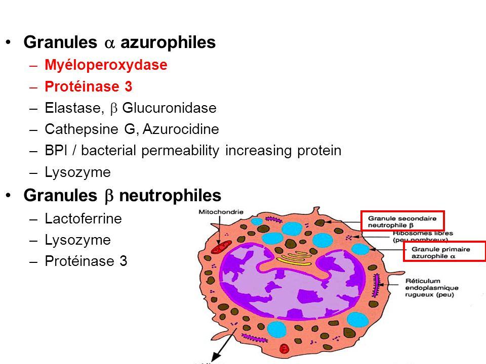 Granules  azurophiles
