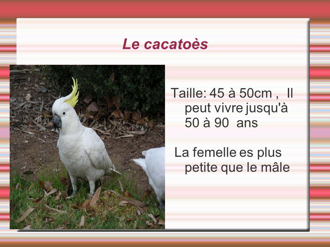 Le cacatoès Taille: 45 à 50cm , Il peut vivre jusqu à 50 à 90 ans