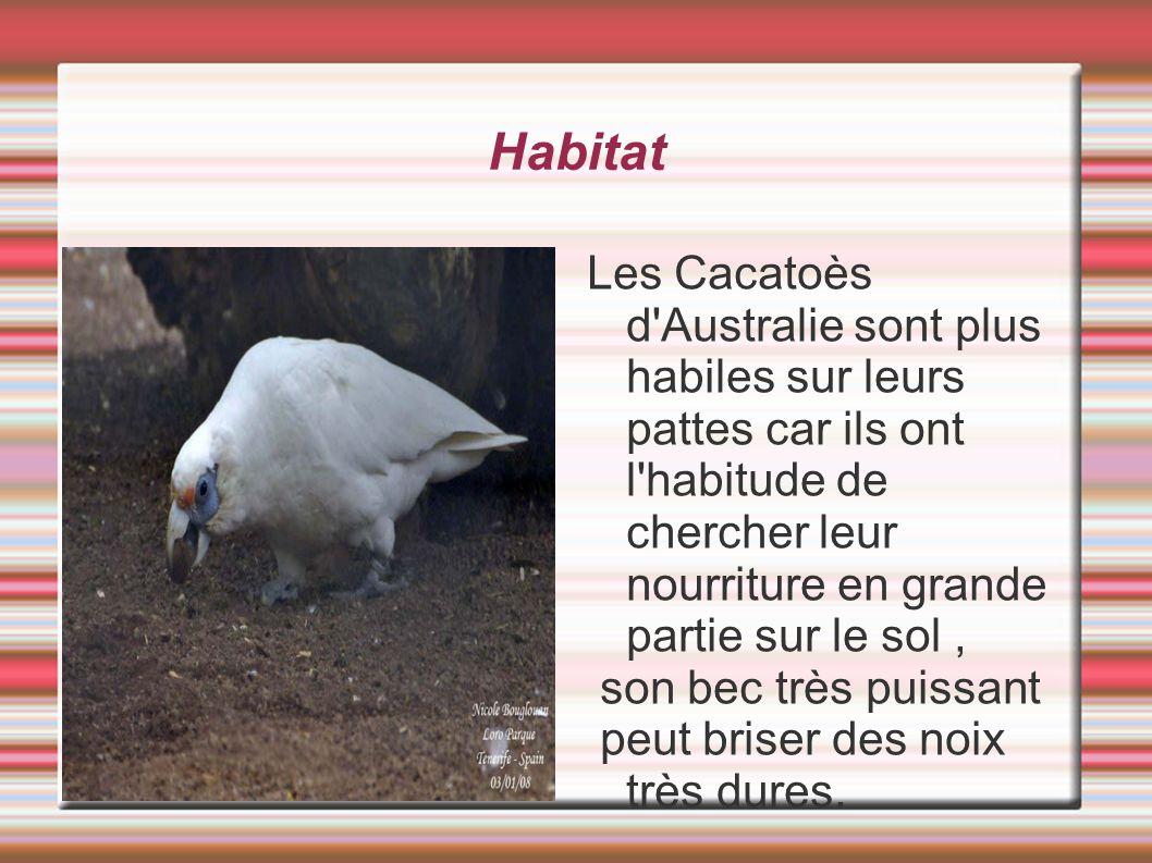 Habitat Les Cacatoès d Australie sont plus habiles sur leurs pattes car ils ont l habitude de chercher leur nourriture en grande partie sur le sol ,