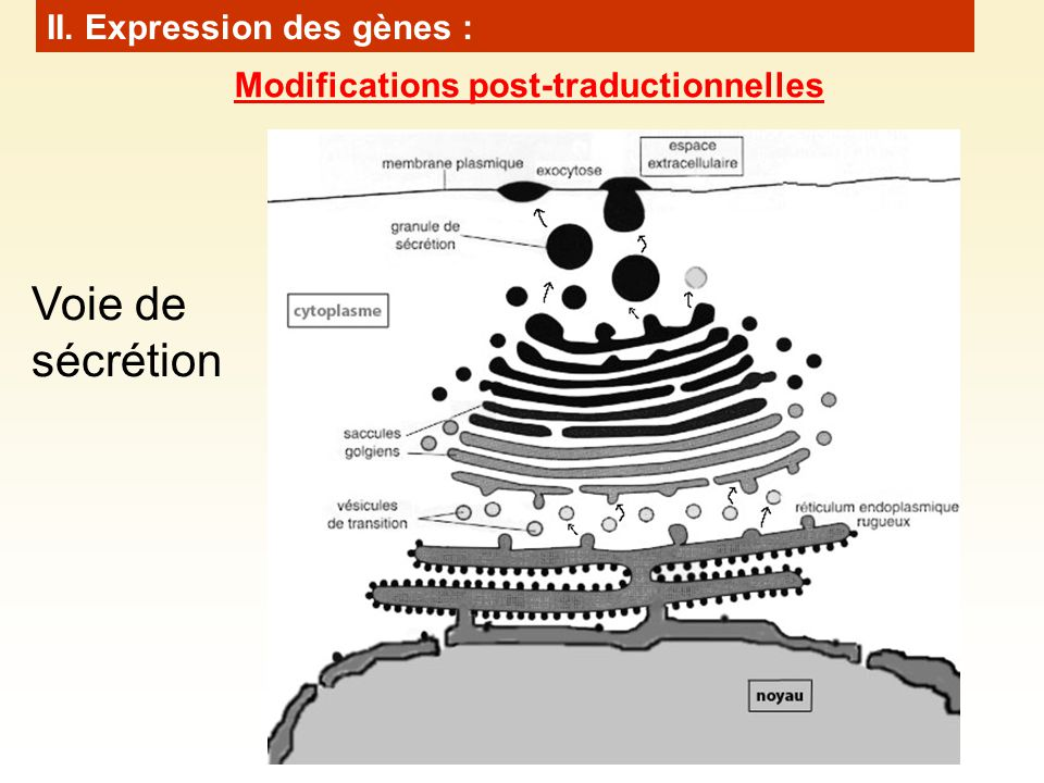 Voie de sécrétion II. Expression des gènes :