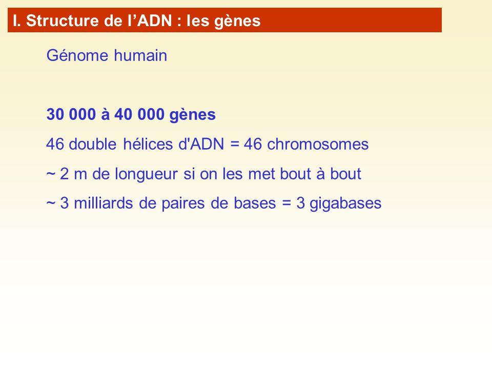 I. Structure de l'ADN : les gènes