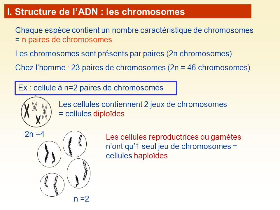 I. Structure de l'ADN : les chromosomes