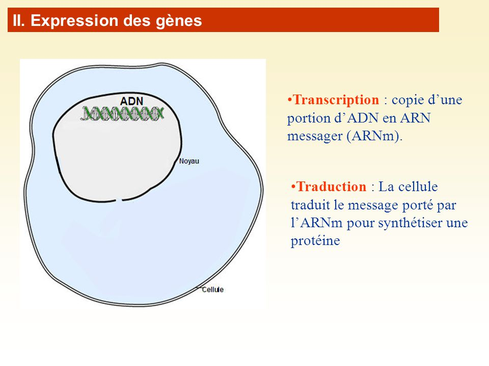 II. Expression des gènes