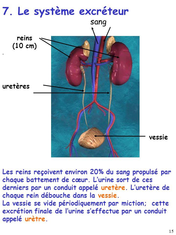 7. Le système excréteur sang reins (10 cm) uretères vessie