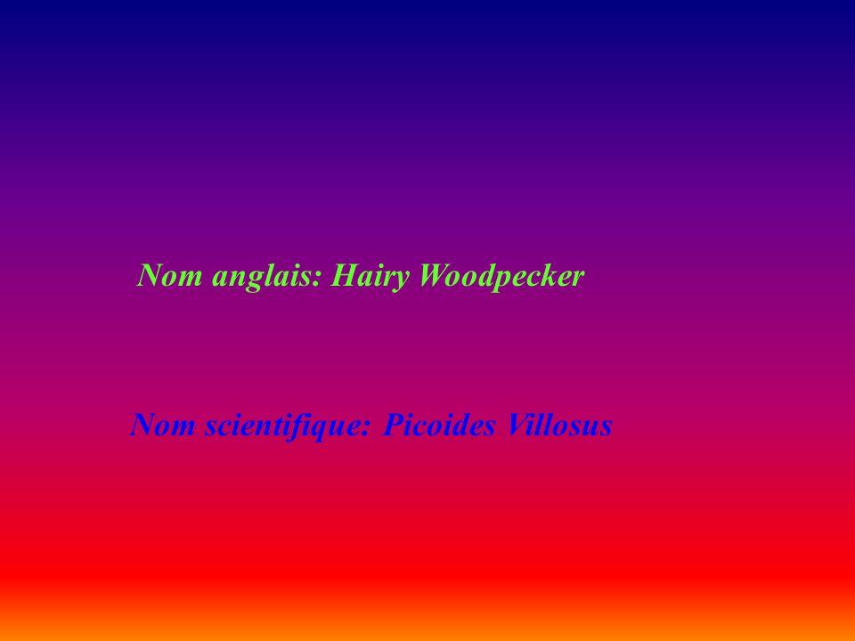 Nom anglais: Hairy Woodpecker