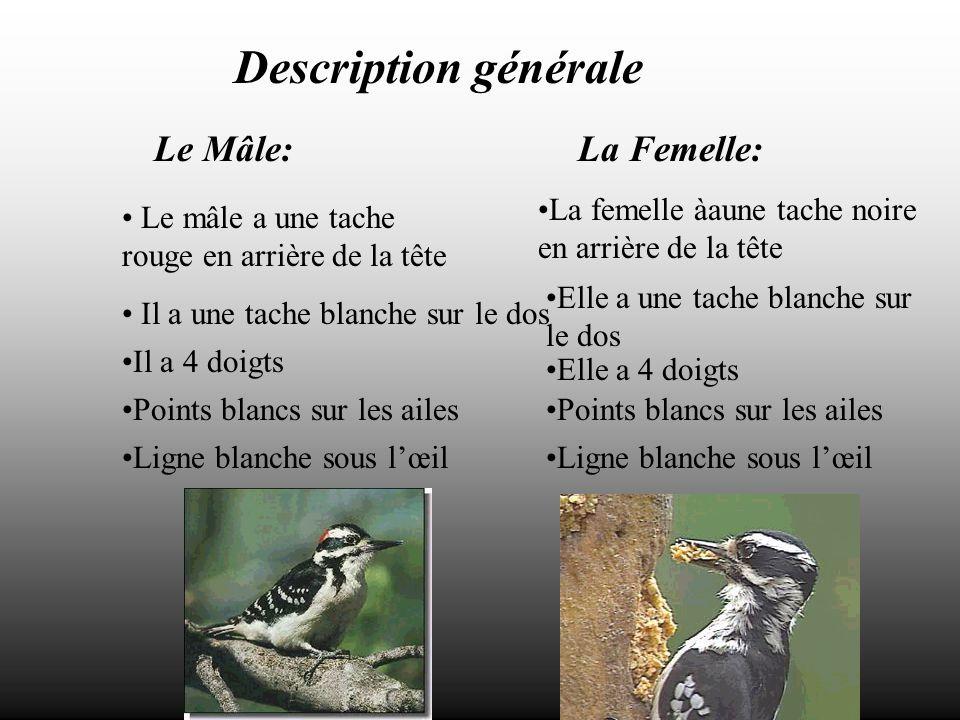 Description générale Le Mâle: La Femelle: