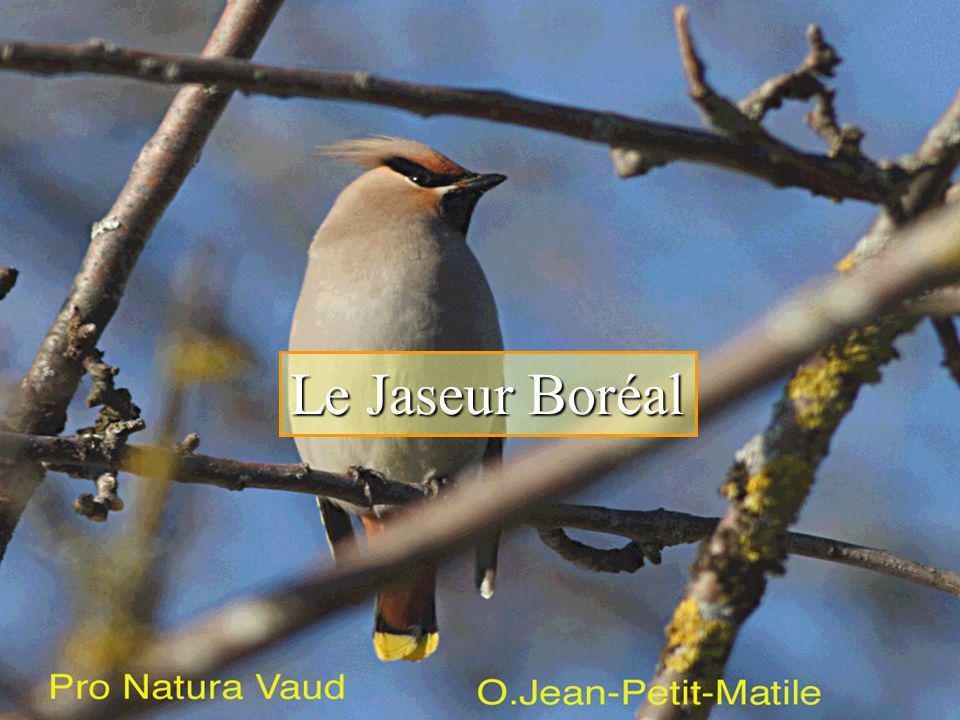 Le Jaseur Boréal Le Jaseur Boréal