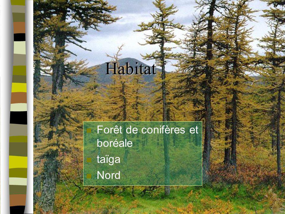 Habitat Forêt de conifères et boréale taïga Nord