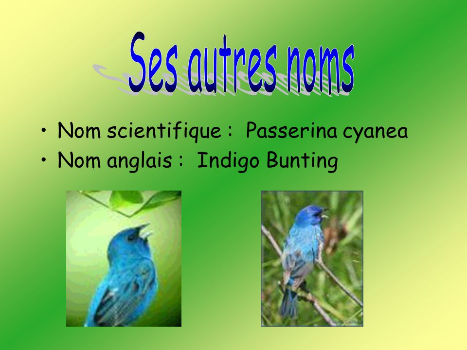 Ses autres noms Nom scientifique : Passerina cyanea Nom anglais : Indigo Bunting